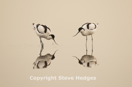 Avocet by Steve Hedges Photography