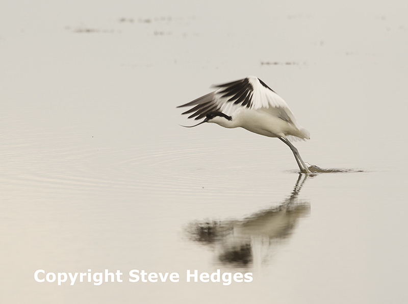 Avocet in Flight by Steve Hedges Photography