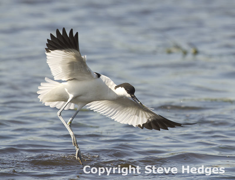 Avocet Water Bird in Essex