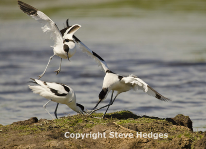 Avocet in Essex