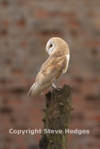 Barn Owl Photography by Steve Hedges