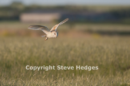 Steve Hedges Barn Owl Photography in Essex