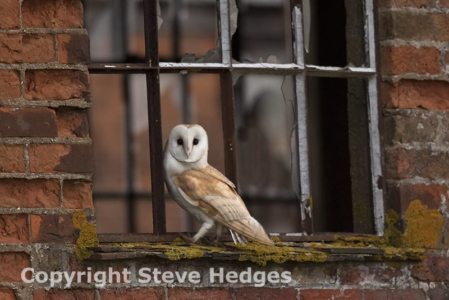 Steve Hedges Barn Owl Photography