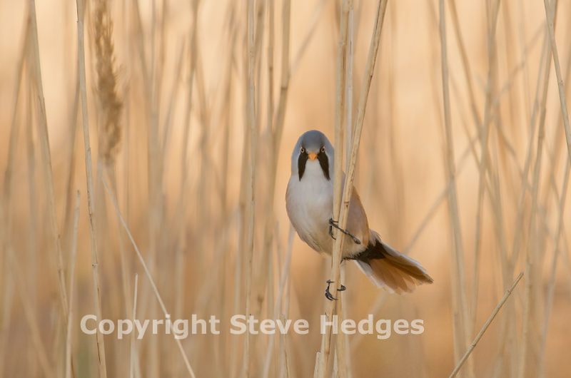 Bearded Tit in Suffolk