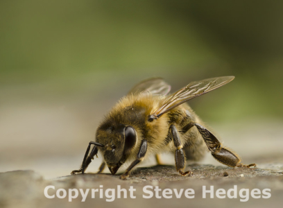 Bee focus stack