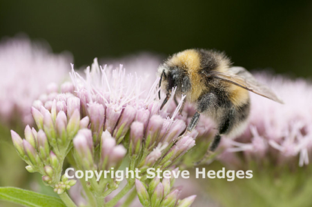 Bee collecting nector