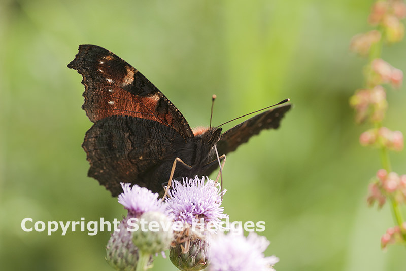 Butterfly Close up by Steve Hedges