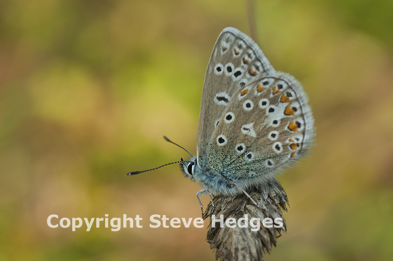 Common Blue Butterfly insect summer meadow