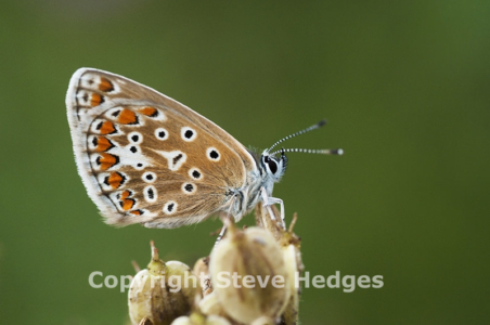 Butterfly in Langdon Hills