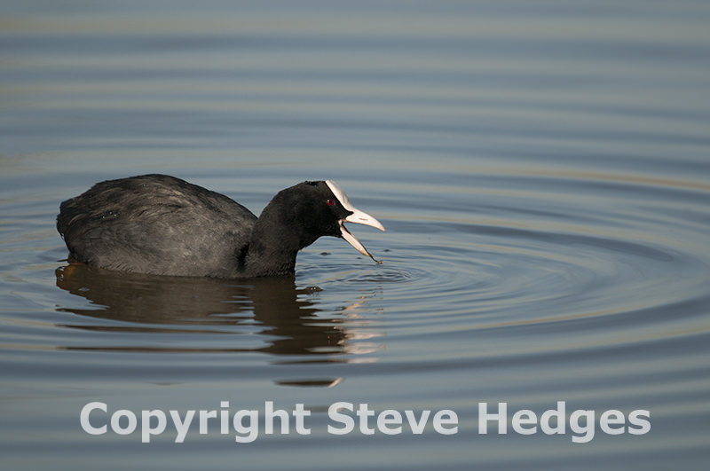 Coot Photography
