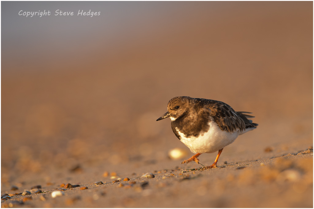 Turnstone on Beach Photography by Steve Hedges