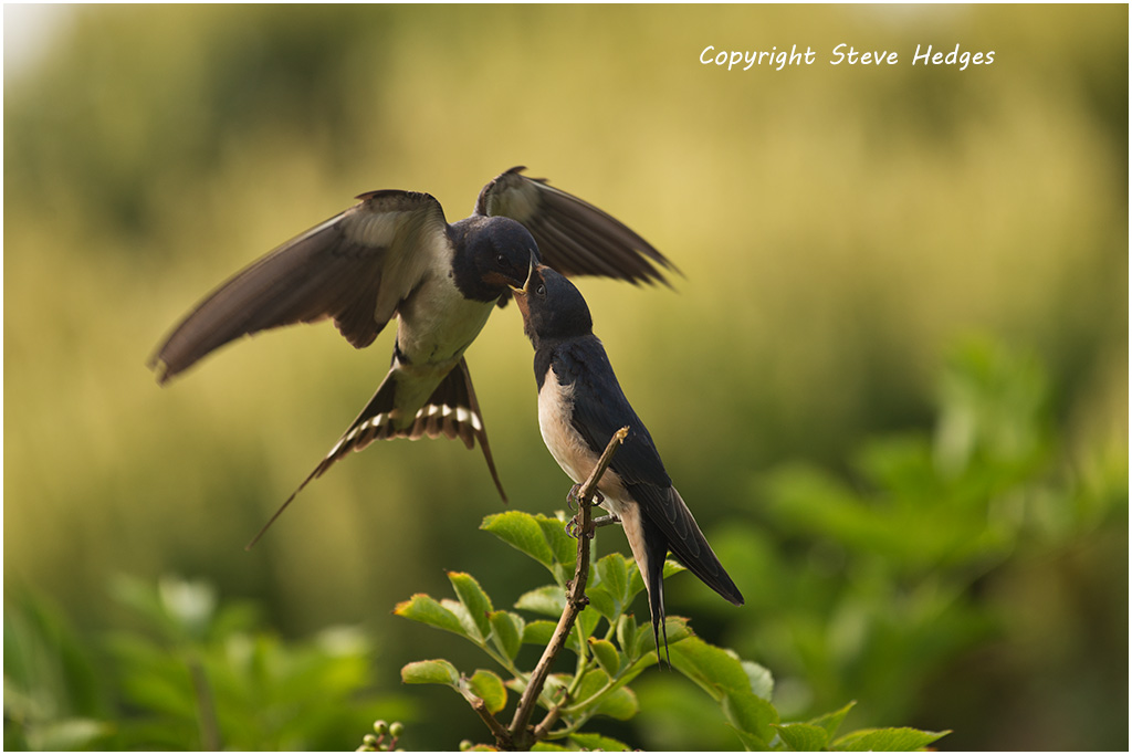 Swallows Feeding Photography by Steve Hedges