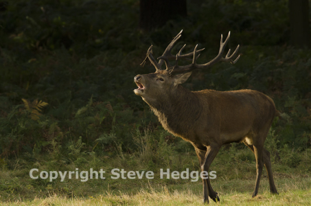 Steve Hedges Deer Photography