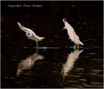 Egrets Photography by Steve Hedges