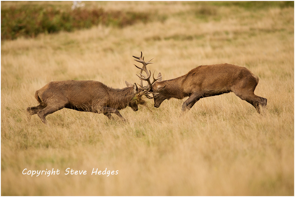 Deer Butting Heads Photography by Steve Hedges