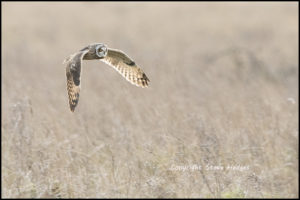 Low Flying Owl