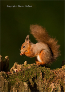 Red Squirrel Eating Photography by Steve Hedges