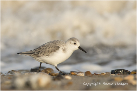 Sanderling Photography by Steve Hedges