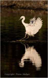 Egret Landing Photography by Steve Hedges
