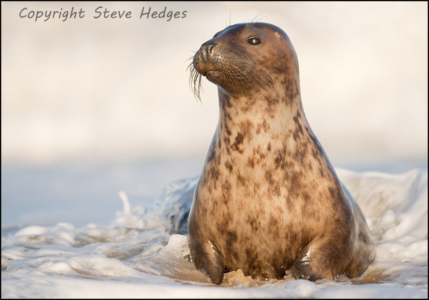 Brown Seal Photography by Steve Hedges