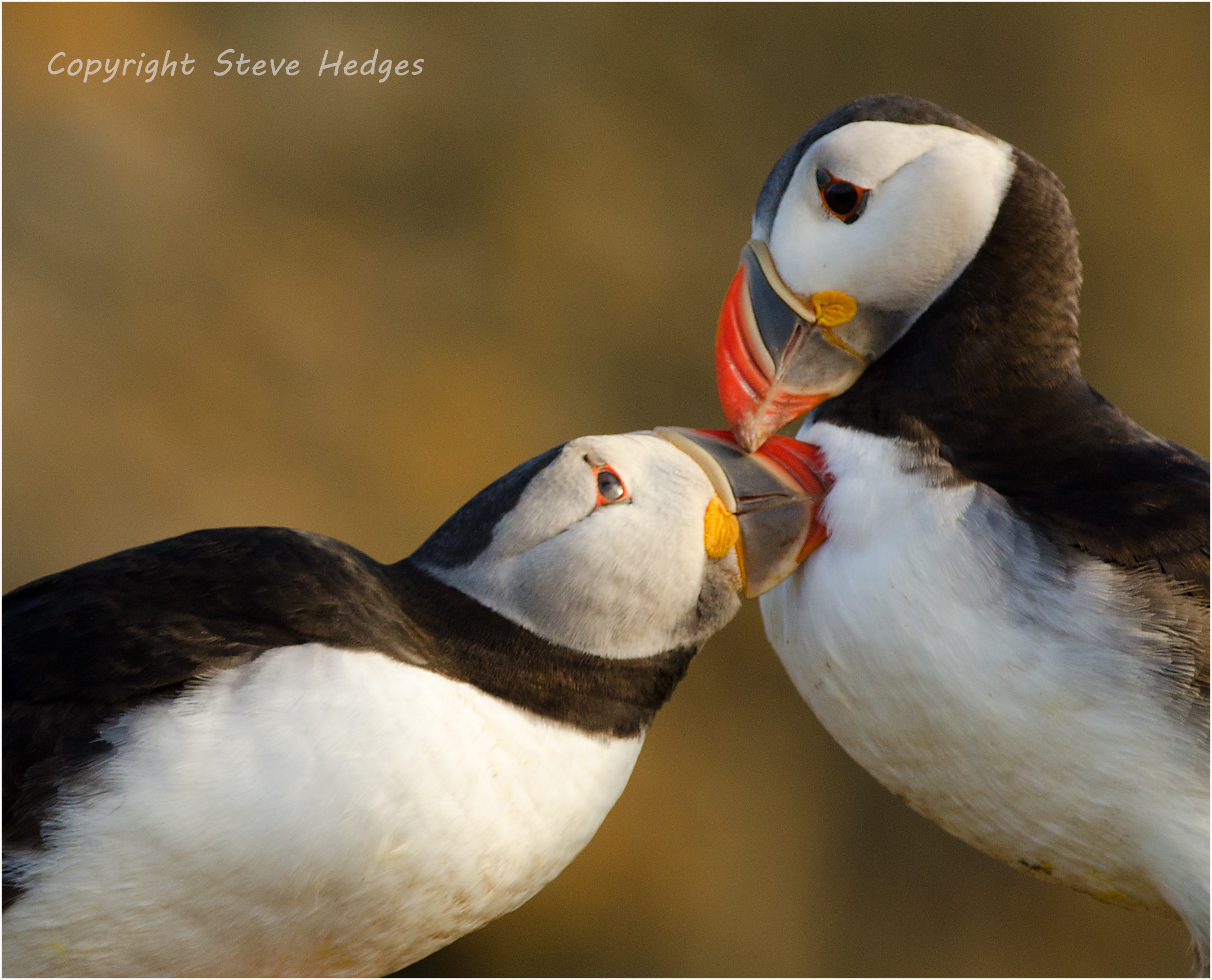 Puffins Nuzzling Photography by Steve Hedges