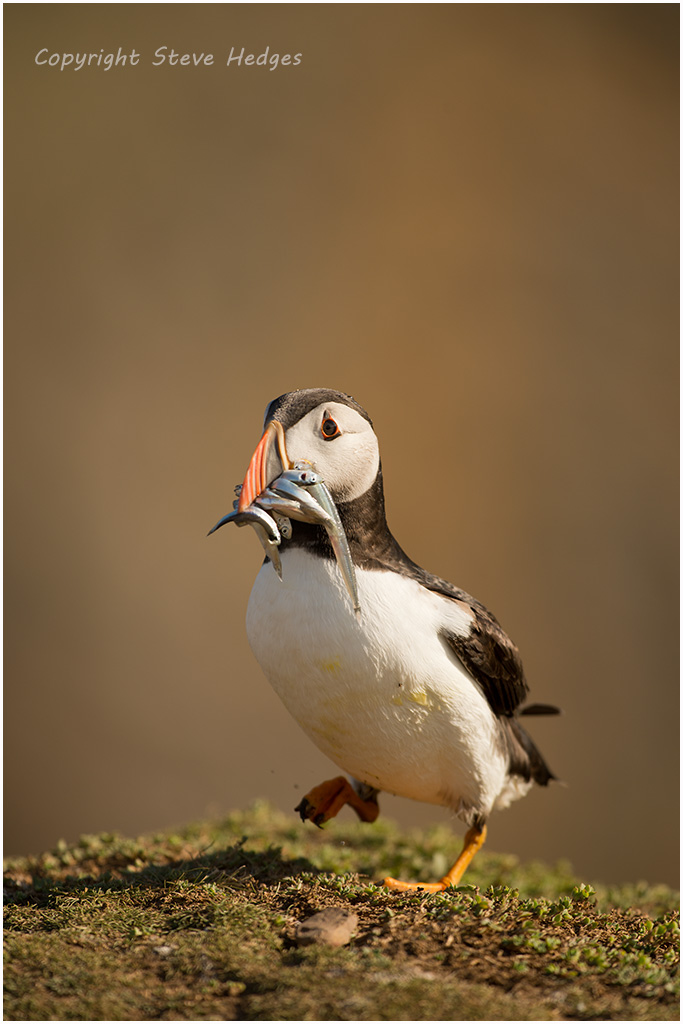Puffin with Sand Eels Photography by Steve Hedges