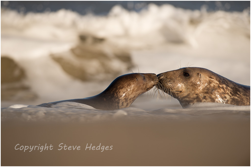 Seals Nuzzling Photography by Steve Hedges