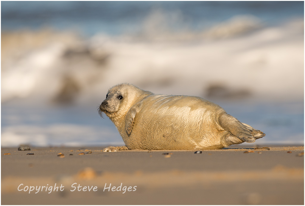 Baby Seal Posing Photography by Steve Hedges