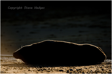Seal Silhouette Photography by Steve Hedges