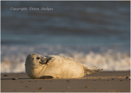 Baby Seal Basking Photography by Steve Hedges