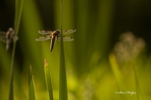close up dragon fly double wing