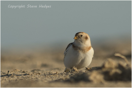 Snow Bunting Photography by Steve Hedges