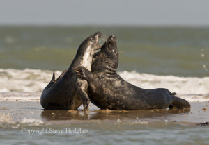 seals playing