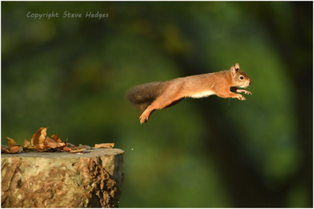 Red Squirrel Jumping Photography by Steve Hedges