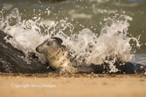 seal splashing
