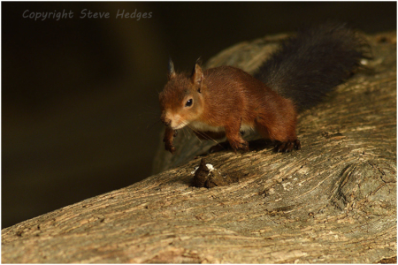 Red Squirrel Photography by Steve Hedges