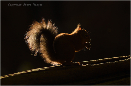 Red Squirrel Silhouette Photography by Steve Hedges