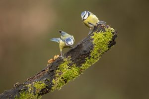 Blue Tits pair branch