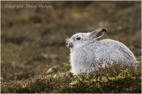 White Rabbit Photography by Steve Hedges