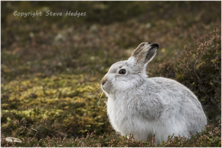 White Rabbit Alert Photography by Steve Hedges