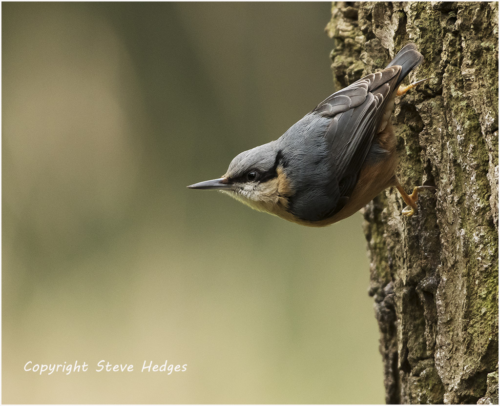 Nuthatch Photography by Steve Hedges