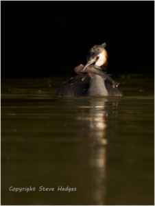 Great Crested Grebe Photography by Steve Hedges