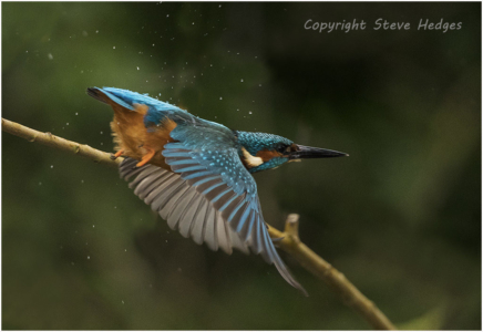 Kingfisher droplets Photography by Steve Hedges