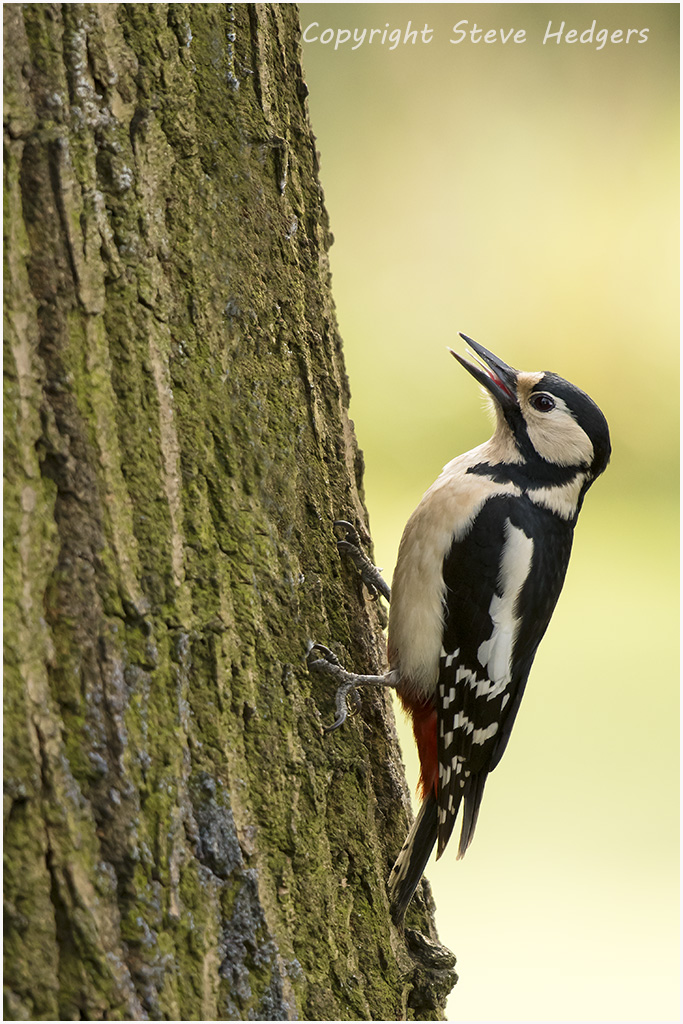 Great-Spotted Woodpecker Photography by Steve Hedges