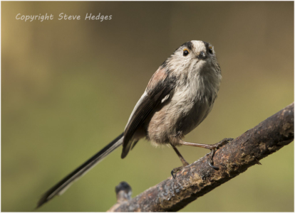 Long Tailed Tit Photography by Steve Hedges
