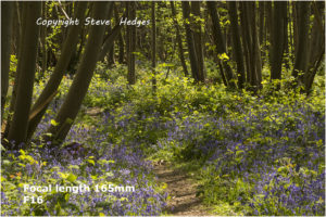 bluebells 165mm