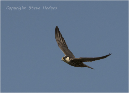 Falcon Flying Photography by Steve Hedges