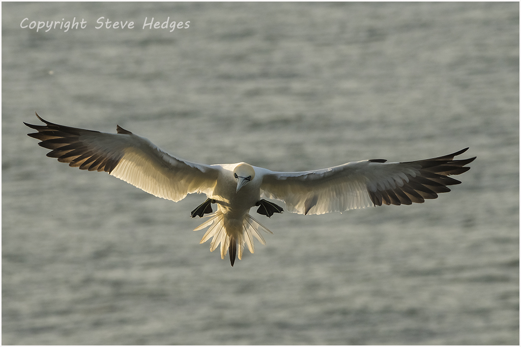 Gannet Flying Photography by Steve Hedges