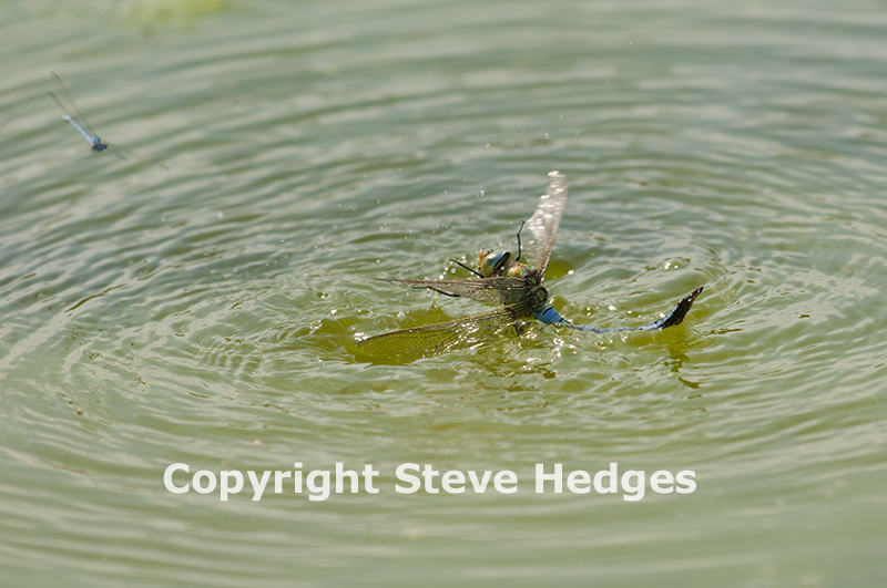 Dragonfly in the Water by Steve Hedges
