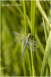 close up dragon fly blue double wing